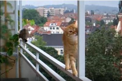 見ていてハラハラ、バルコニーの柵を渡る猫