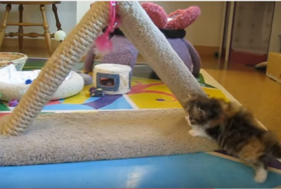 母猫の愛が激しすぎて溺れそうなペルシャ子猫