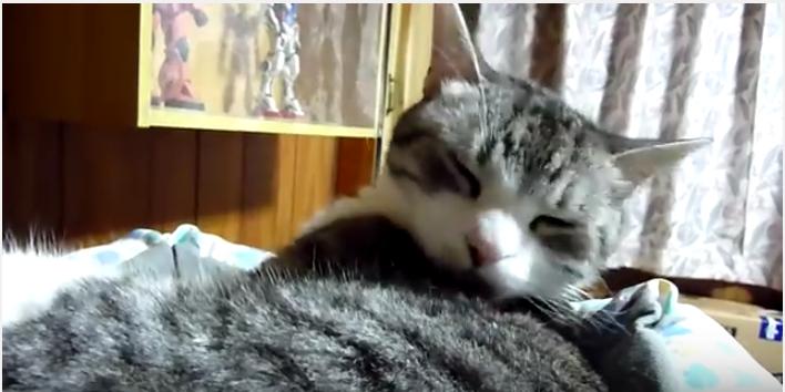 目力の強い猫と、毛繕いの邪魔をする飼い主さん