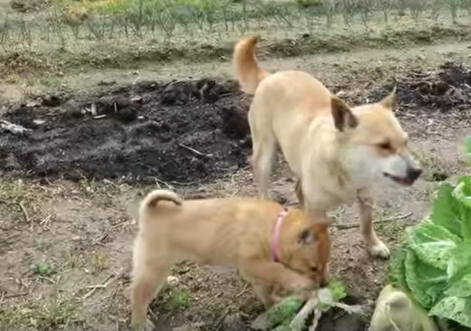 柴犬親子がむしゃむしゃ・・何を食べてるの!?