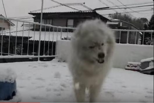 雪にはしゃぐサモエド、雪もサモエドも真っ白