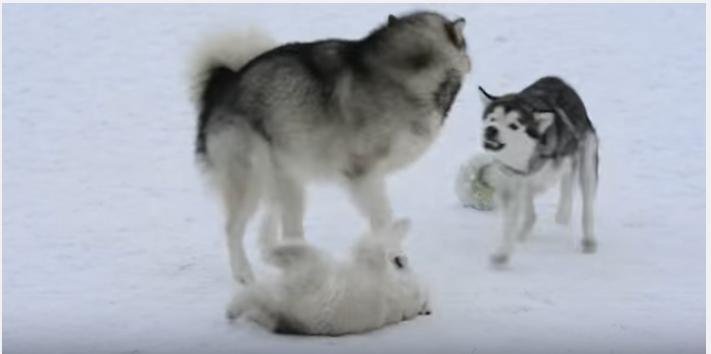 うちの子に手を出さないで!雪の中駆け寄る母犬