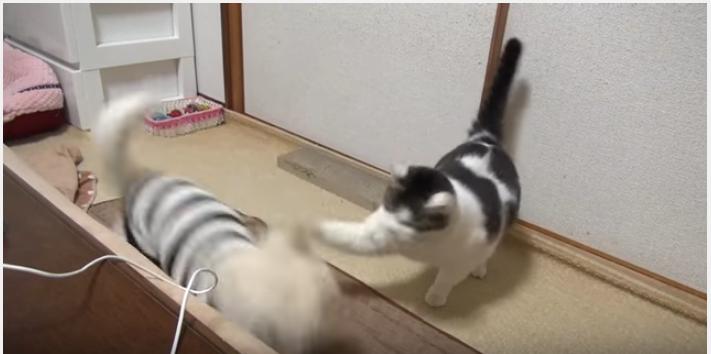 チワワ、初めての猫から頭コツンに固まる
