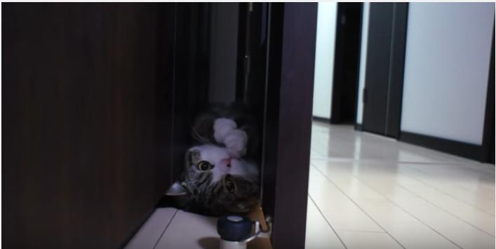 人気スコ猫まるくん、ドアの隙間ででんぐり返し