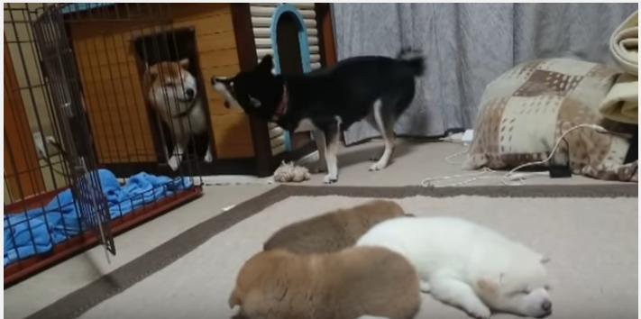 柴犬の夫婦喧嘩、度を過ぎた夫犬にぶち切れ