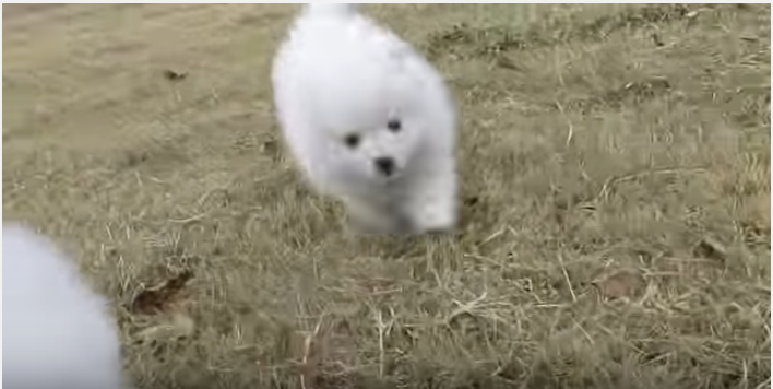 モフモフ可愛いスピッツの子犬、全力疾走!