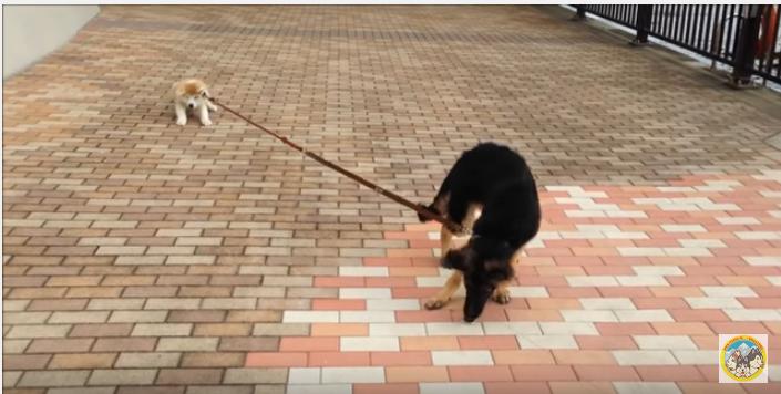 散歩で秋田犬子犬の踏ん張りに、シェパード困惑