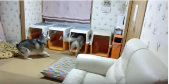 もうすぐご飯!嬉しくて走り回るハスキー犬たち