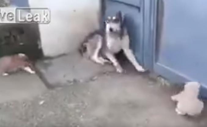 うちの子に何をするの!怒る母犬vs大型犬