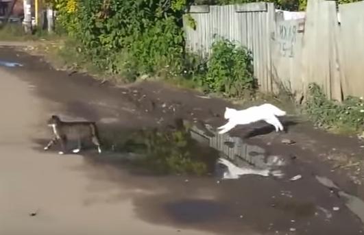 二匹の猫が水たまりをジャンプ!ところが・・・