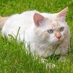 turkish-van-1