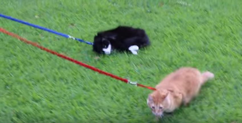 ネコの散歩は大変...何があっても動かないネコ
