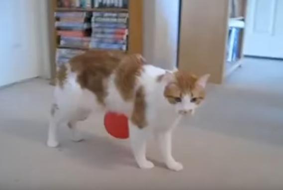 と、取れない!風船がくっついてくる猫の苦悩