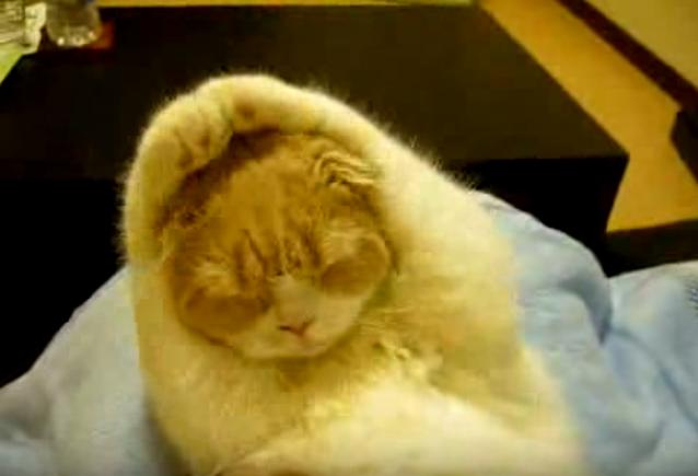 両手は上へ!手で丸を作るかわいいネコ