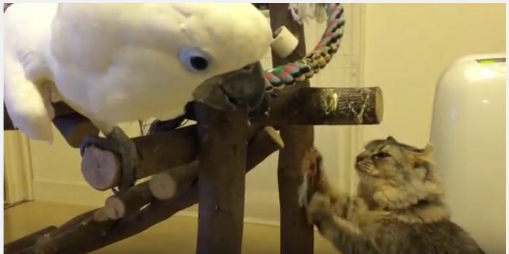 まるで兄妹喧嘩、オウムと猫