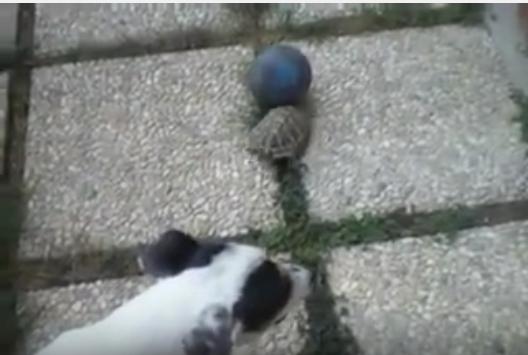 ボールの取り合い、犬vsカメ