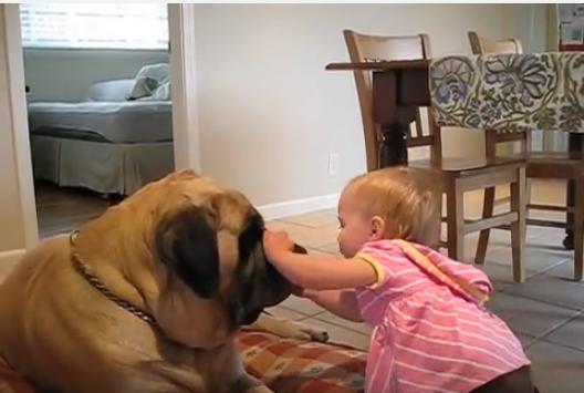 大型犬マスティフと赤ちゃんのキス