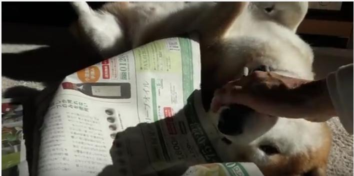 新聞あるある、やはりよけてくれない柴犬
