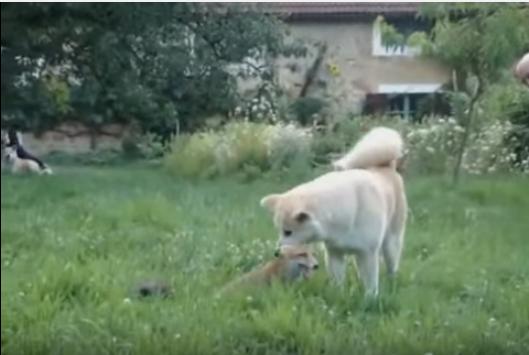 キツネが犬にジャンプ!懐かれる犬